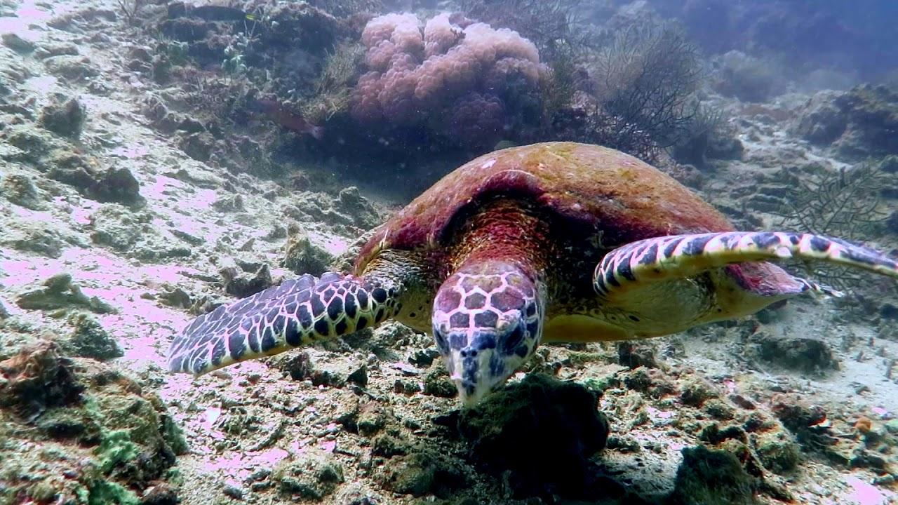 Turtle in Andaman Sea